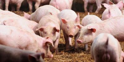 Begini Al-Qur'an Menjelaskan Haramnya Daging Babi