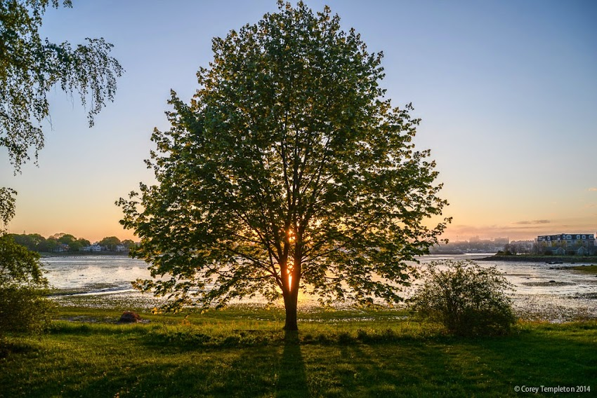 South Portland, Maine Tree Silhouette at sunset in May 2014 Photo by Corey Templeton