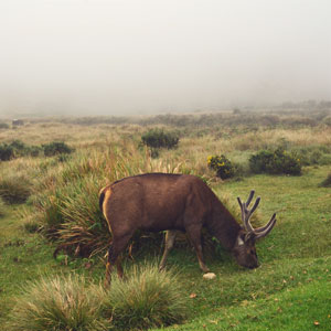 Sri Lankan sambar deer, Horton Plains
