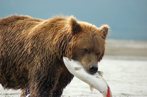 Grizzly bear basic facts and new pictures the wildlife for Fish 2 flirt