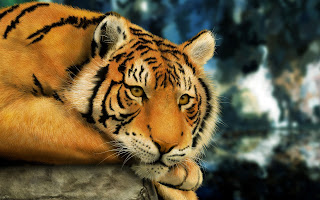 Resting Tiger Wallpaper
