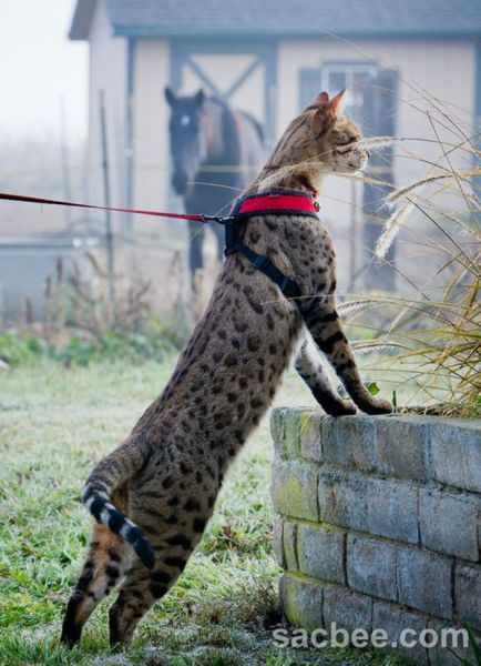 funny cool pictures the tallest cat in the world - Biggest House Cat In The World 2013