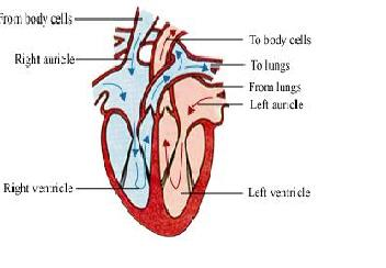 Cbse science class 7 notes exercise answers and tests etc class 7 flow of blood in the human heart ccuart Image collections