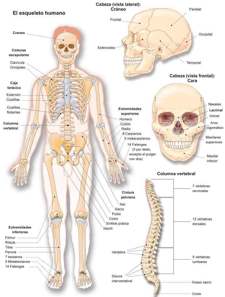 ANATOMÍA Y FISIOLOGÍA HUMANA: OSTEOLOGÍA