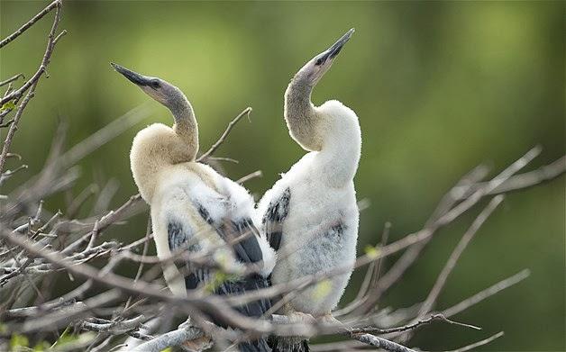Crias de Anhingas florida