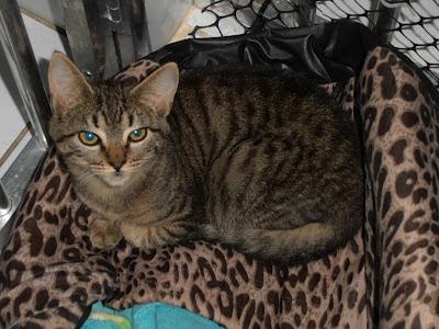 Paçoquinha - gatinha para adoção P7080006