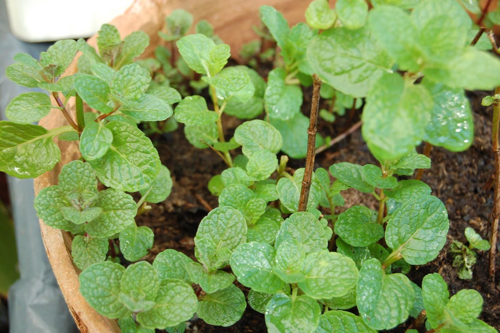 El huerto casero de ana hierbas medicinales la hierbabuena for Hierbas y plantas medicinales