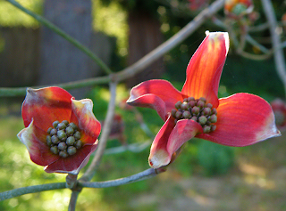Branch of Dogwood with Two Opening Blossoms