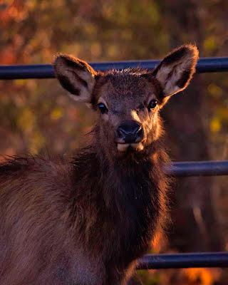 Calf Elk, Boxley Valley 2012 Rut