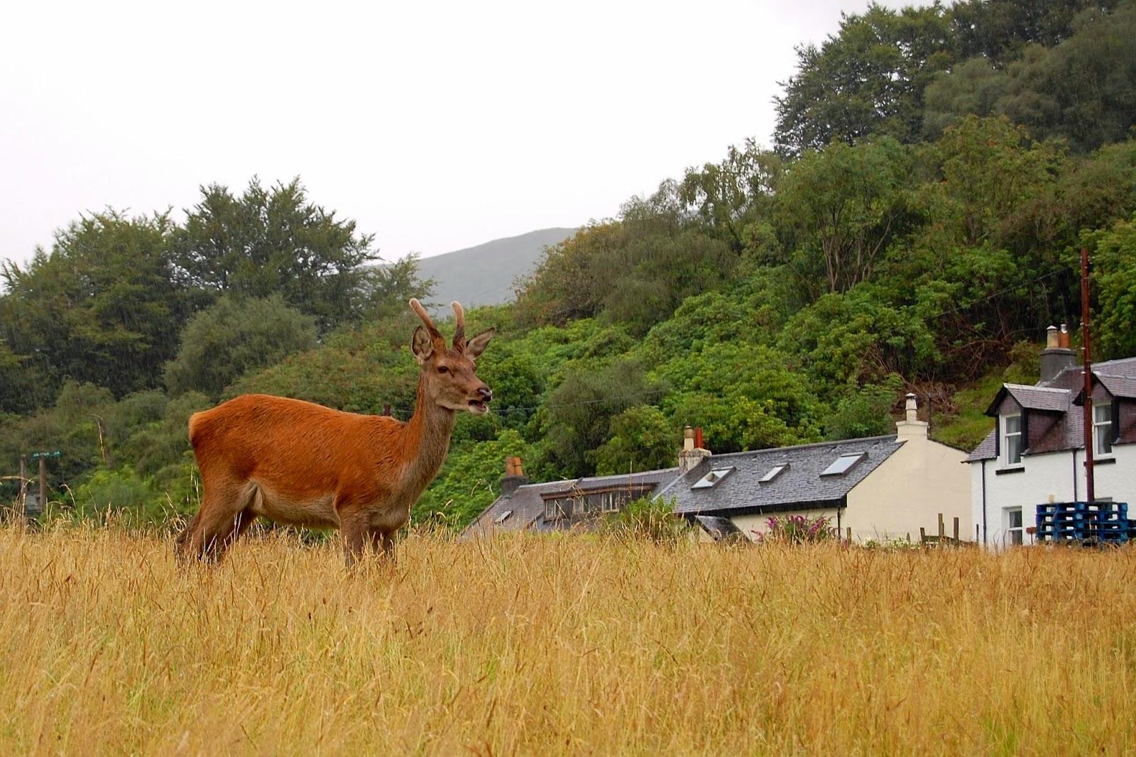 Young buck deer in Lochranze on the Isle of Arran