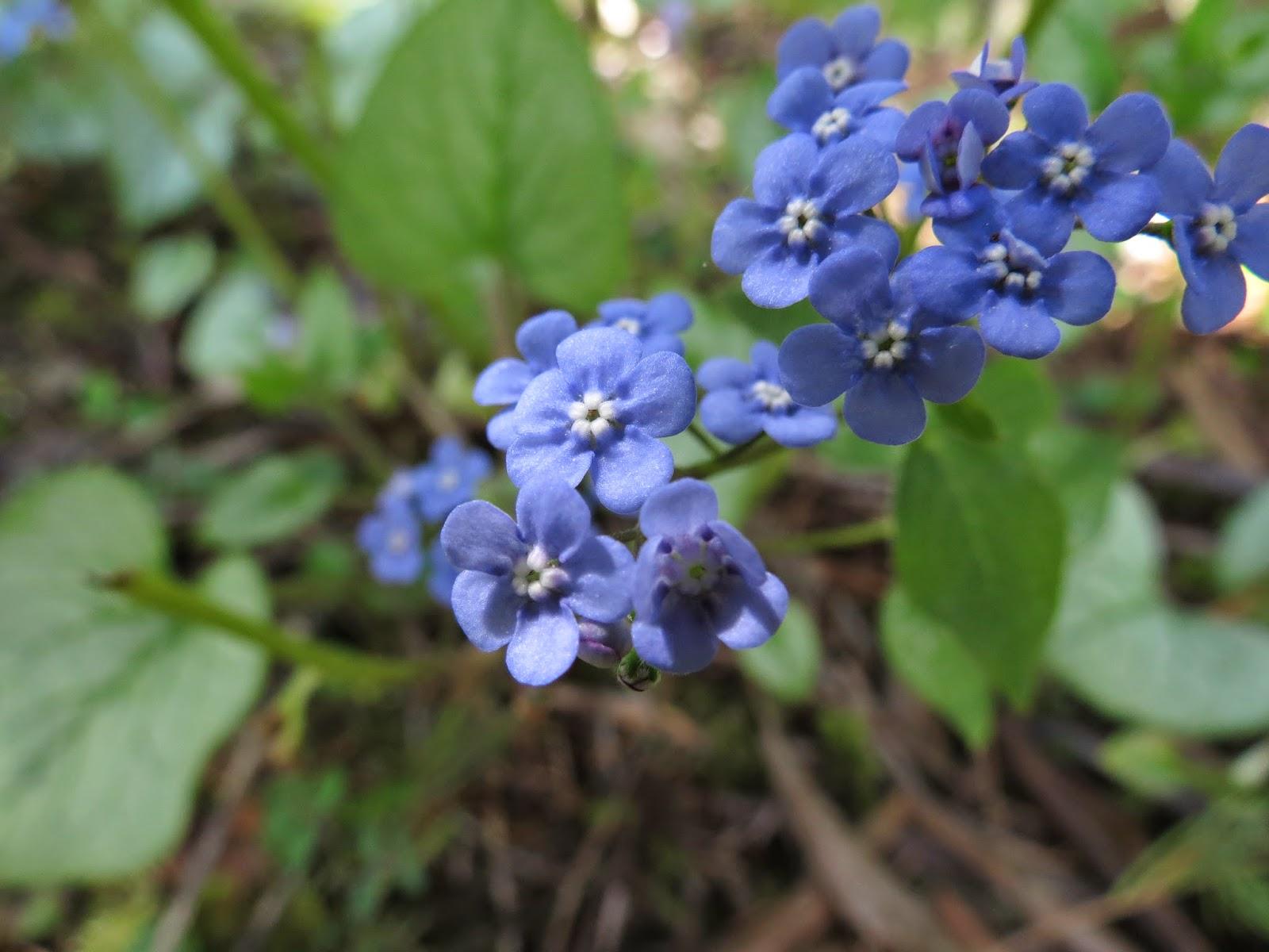 Brunnera Macrophylla Jack Frost Is My Favorite Plant In The Garden