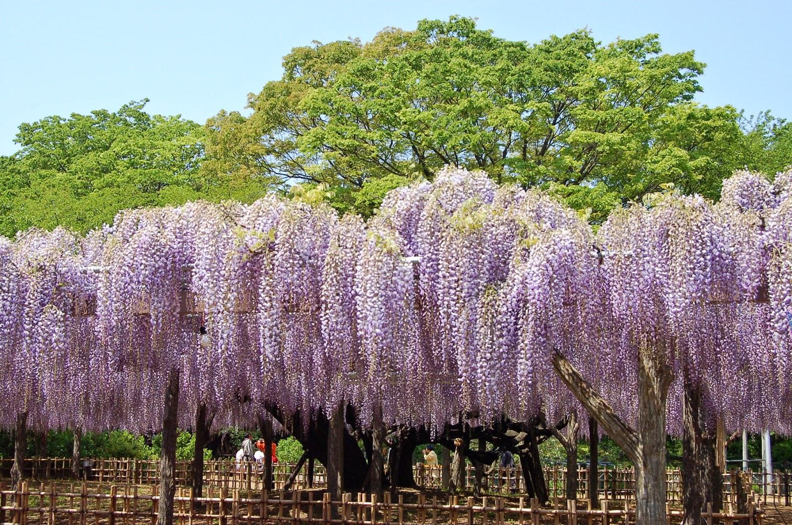 Image result for 玉敷神社のフジ