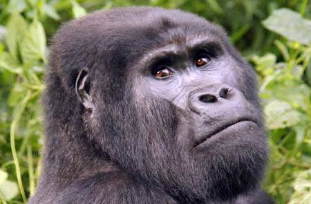 Blackback mountain gorilla in Nkuringo group