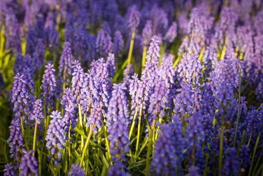 Grape Hyacinth blooms in spring sun