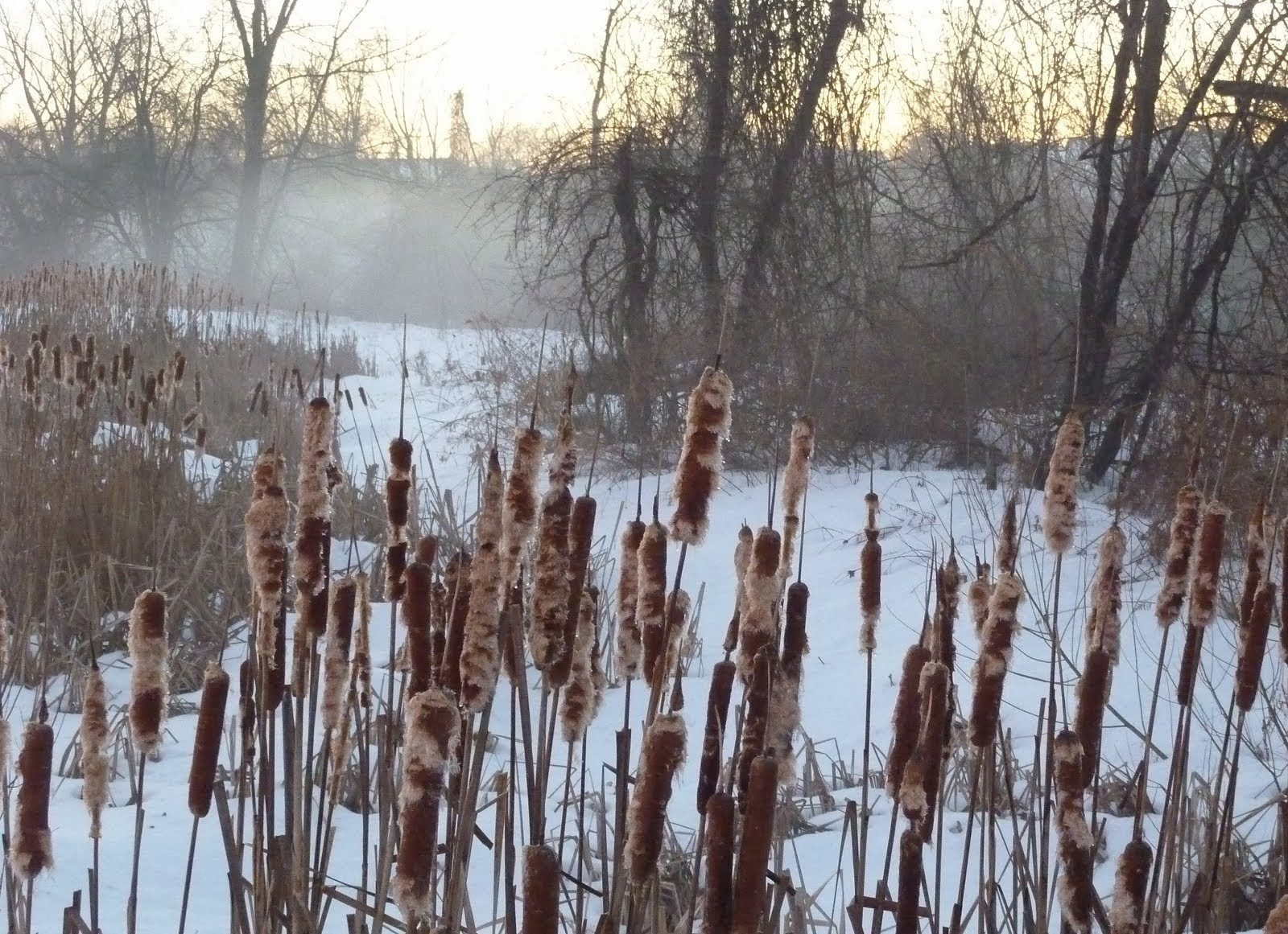 Cattails on the Little Cacoosing