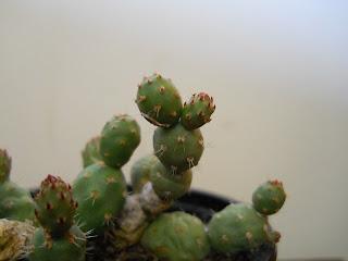 plantas y cactus de la familia de las Opuntioideas