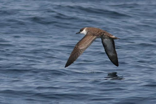 Great Shearwater by Martin Elliott, Mermaid II pelagic