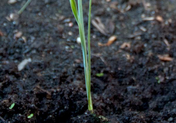 Liten purjolök i jord