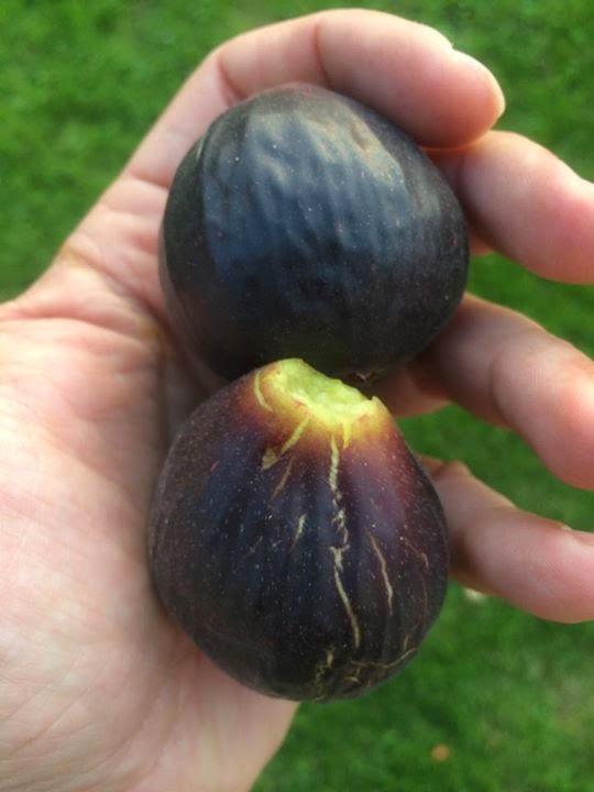 Figs : Violette Dauphine