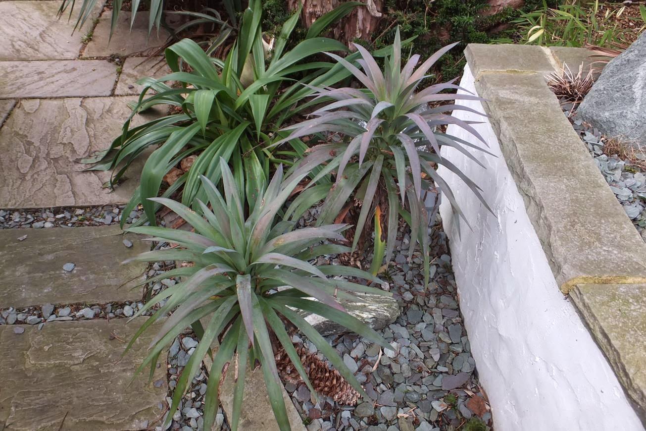 Yucca desmettiana