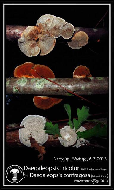 Daedaleopsis tricolor (Bull.) Bondartsev & Singer