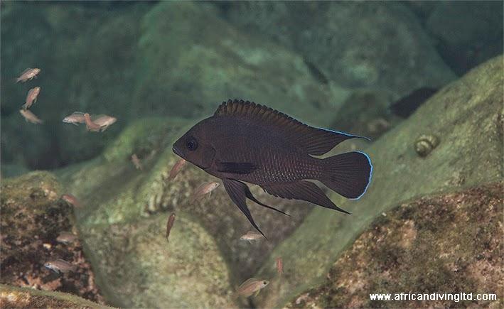 variabilichromis_moorii_w_juvenile_kalub