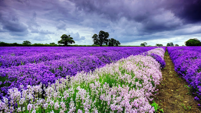 World of Lavender