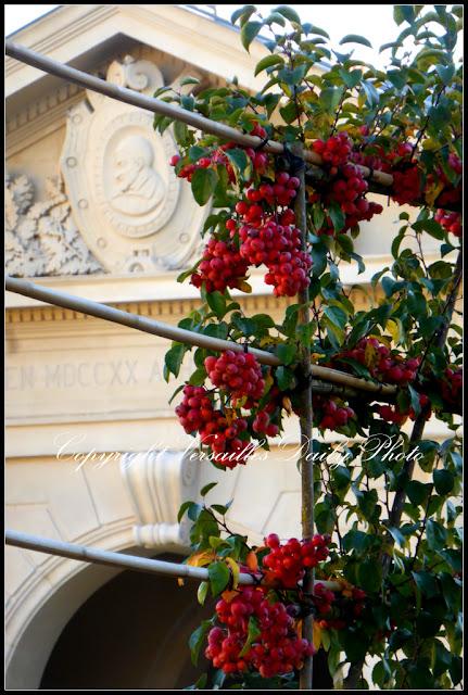 Crabapples malus pommes hôpital Richaud Versailles