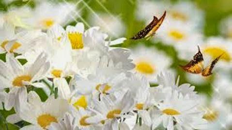 Цветы про ромашки стихи