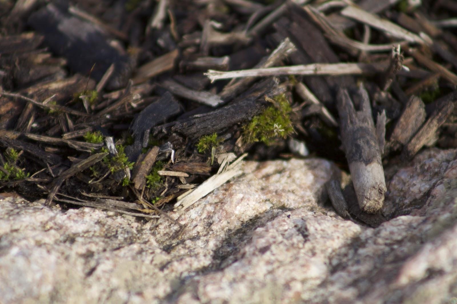 tiny moss in mulch