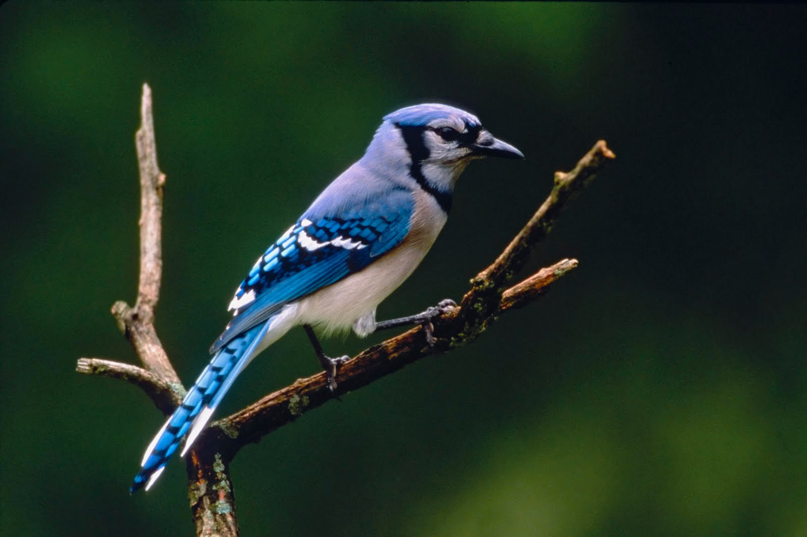 free wallpapers blog blue jay background