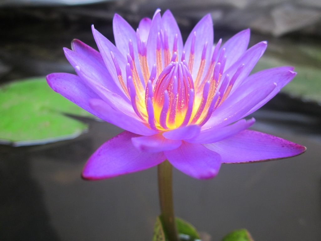 Blue Water Lily Seeds Organic Nymphaea