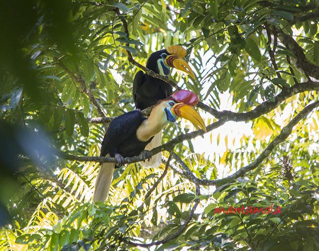Red Knobbed Hornbill (Aceros cassidix)