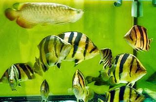 Mengenal Tiger Fish
