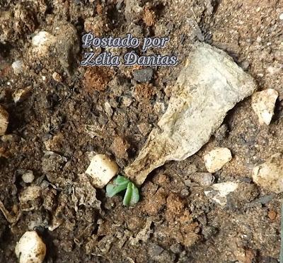 reprodução de planta suculenta echeveria black prince
