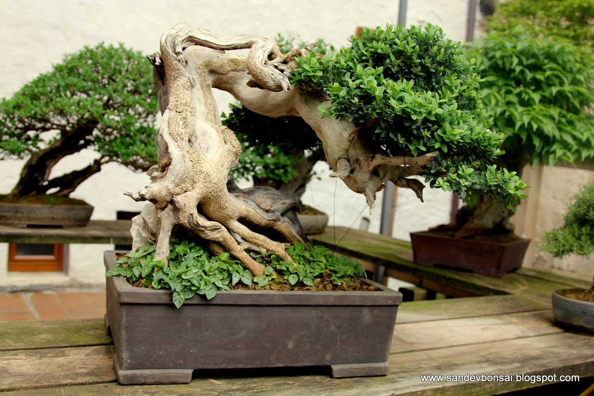 SandevBonsai Spring Meeting In Feltre With Mauro Stemberger FOTO