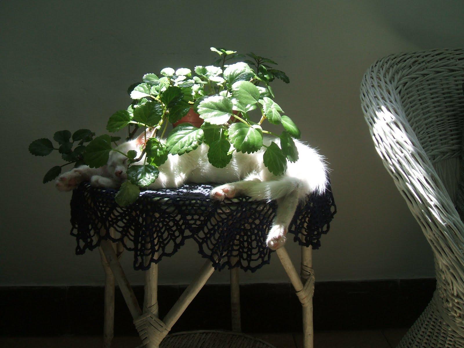 Un viejo gato azul plantas venenosas para el gato - Plantas venenosas para gatos ...