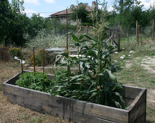 Raised bed with Corn and Tomatoes