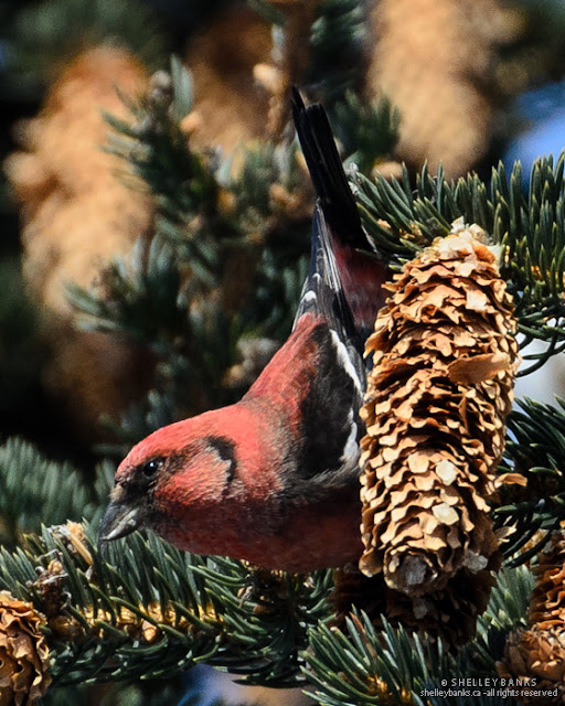 Male White-winged Crossbill, walking down a fir cone. photo © Shelley Banks, all rights reserved.
