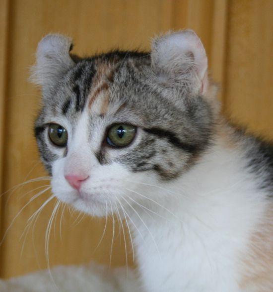 Healthiana: American Curl Cats