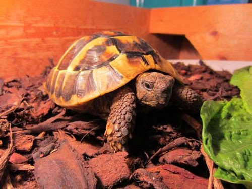 Tortoise Charlie wakes up Sleeping after two months