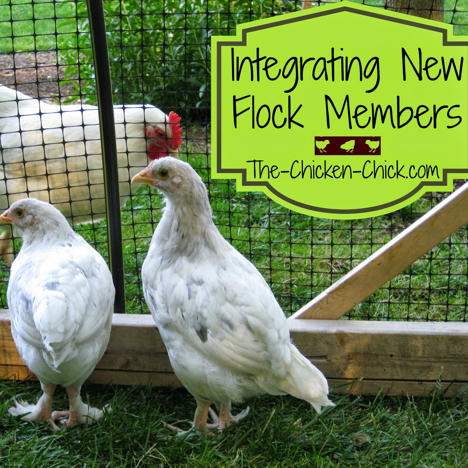 After the quarantine period has expired and everyone checks out okay, the process of integration into the existing flock can begin. Learn how to go about introducing the newbies without bloodshed while minimizing stress in this article.