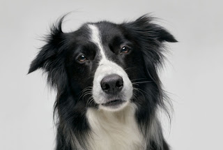 border collie pets dog breed puppy animal wallpapaer
