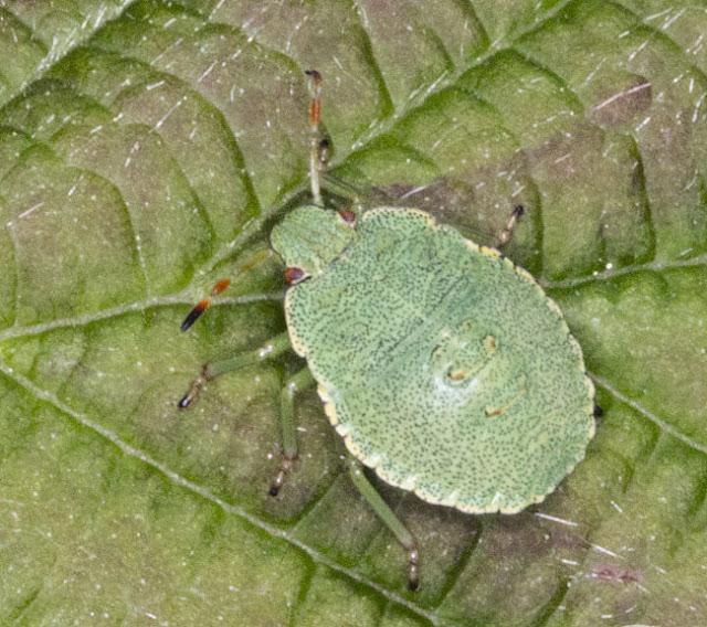 Green Shield Bug, Palomena prasina, 4th instar nymph.  Orchid Bank, High Elms Country Park, 30 July 2011.