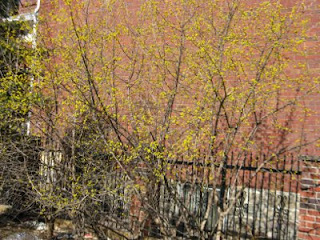 spring cornellian cherry shrubs by garden muses: a Toronto gardening blog