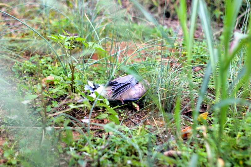 Dead dove on the ground
