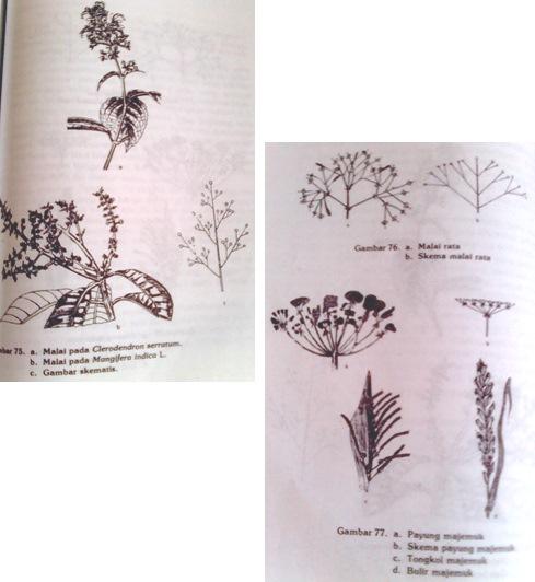 Hairiani miiyanni morfologi tumbuhan tentang bunga bunga majemuk berbatas inflorescentia cymosa atau inflorescentia centrifuga inflorescentia definita ccuart Choice Image