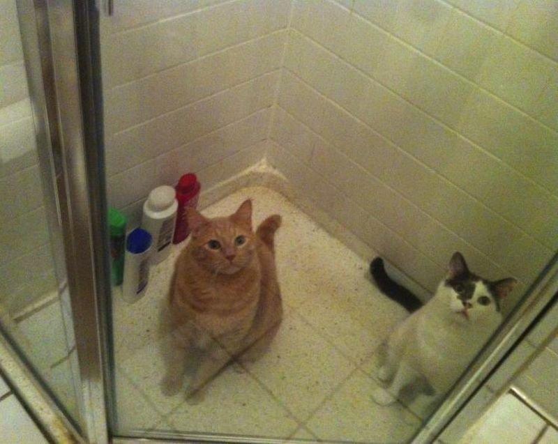 Коты в душе