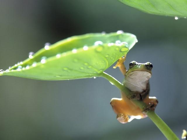 """<img src=""""http://2.bp.blogspot.com/-mJB6zBMjcaA/Uq9ggBa-QtI/AAAAAAAAFxk/CjvR8JZKpHE/s1600/teree.jpeg"""" alt=""""Frogs Animal wallpapers"""" />"""