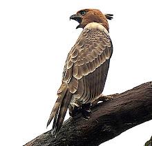 Blyth's Hawk Eagle_2011